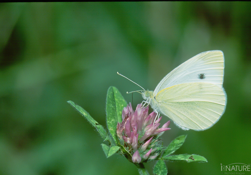 Cabbage butterfly feeding on a flower