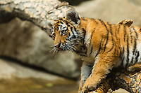 I finally had a chance to see the tiger cubs at the Calgary Zoo. Three of them were recently born and they are extremely cute!<br /> <br /> ©2012, Sean Phillips<br /> http://www.RiverwoodPhotography.com