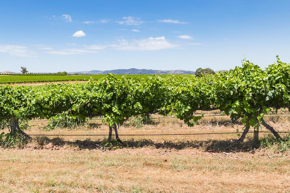 grape vines on a vineyard near Gulgong, New South Wales, Australia