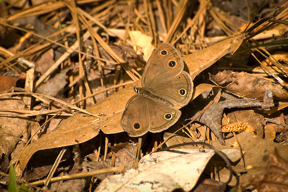 Viola's wood satyr catching some rays in a clearing in the Goethe State Forest in Levy County, Florida. Nearly impossible to catch as they only land for fractions of a second, the damaged wing helped me get this photograph.