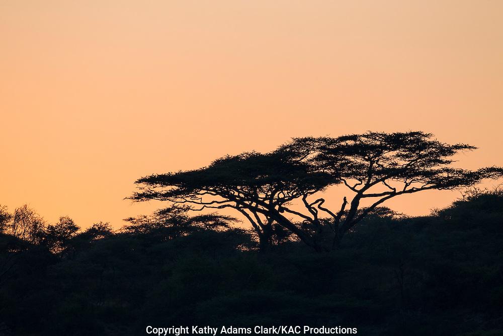 sunrise with a silhouetted acacia tree, near Ndutu, in the Ngorongoro Conservation Area, Tanzania, Africa.