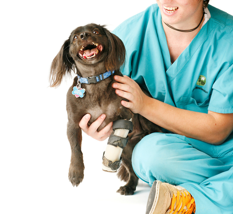 Spider Mintzer, a cocker spaniel mix, utilizes a splint to give him stability from a neurological injury to his front limb at Animal Rehabilitation & Wellness Hospital in Raleigh, NC, seated with veterinarian assistant Mike Westendorf.