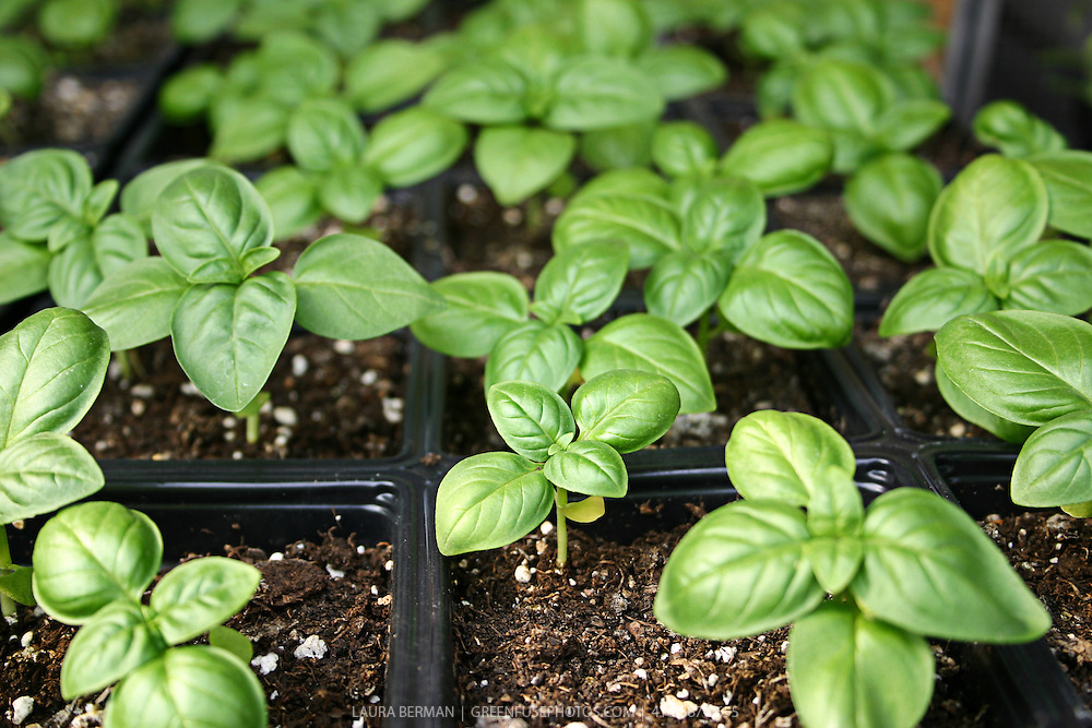 Genovese basil seedlings in cell packs a greenhouse, almost ready to be planted outside.