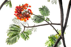 Royal Poinciana Tree Delonix Regia #26
