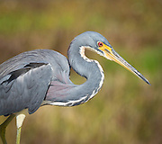 USA, Florida, Boynton Beach. A tricolored heron (Egretta tricolor) at the Green Cay Wildlife Preserve.