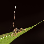 Ophiocordyceps unilateralis is an entomopathogen, or insect-pathogenising fungus found predominantly in tropical forest ecosystems. O. unilateralis infects ants of the Camponotini tribe, with the full pathogenesis being characterized by alteration of the behavioral patterns of the infected ant.