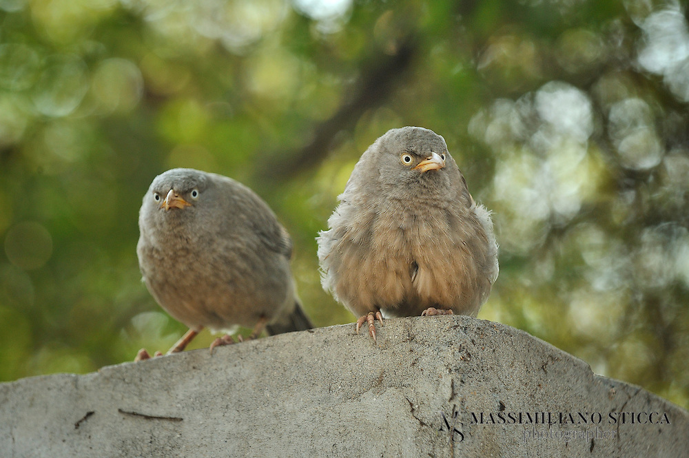 The Jungle Babbler (Turdoides striata) is a member of the Leiothrichidae family found in the Indian Subcontinent. They are gregarious birds that forage in small groups of six to ten birds, a habit that has given them the popular name of Seven Sisters or Saath bhai in Hindi with cognates in other regional languages which means &quot;seven brothers&quot;.<br /> The Jungle Babbler is a common resident breeding bird in most parts of the Indian Subcontinent and is often seen in gardens within large cities as well as in forested areas. In the past, the Orange-billed Babbler, Turdoides rufescens, of Sri Lanka was considered to be a race of this babbler, but is elevated to a species.