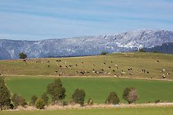 Cattle graze on a hillside near Mole Creek in Tasmania's midlands.