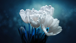 Soft white tulips whisper in the blue midnight glow reaching towards the shining the way