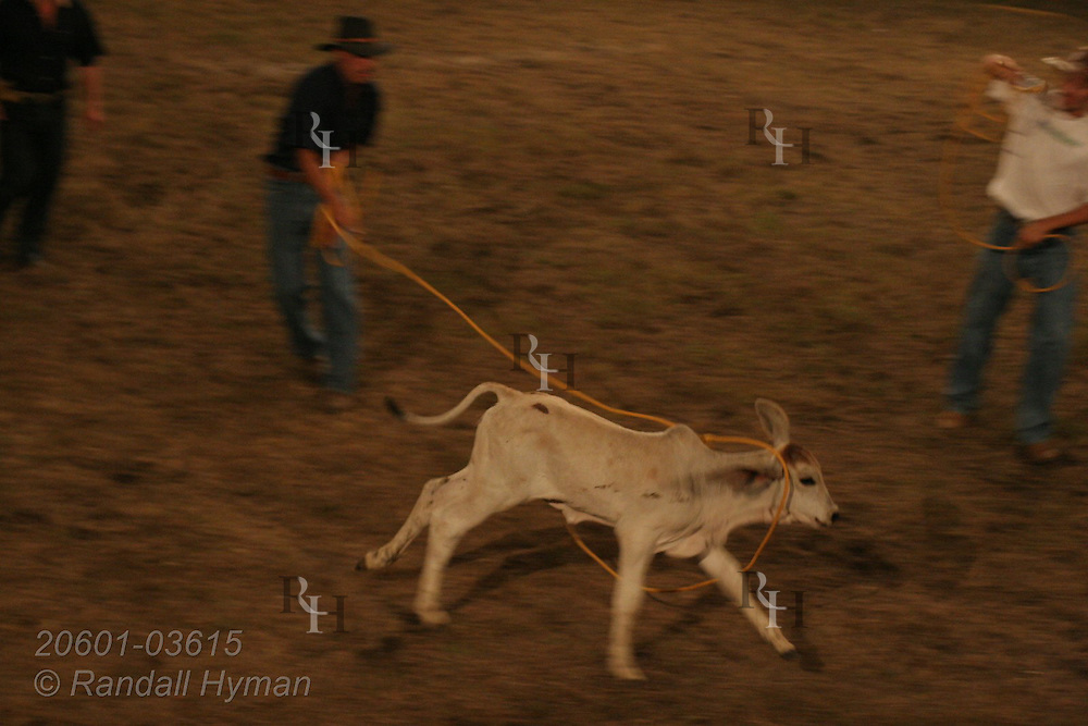 Cowboy lassos calves at rodeo in Atenas, Costa Rica.