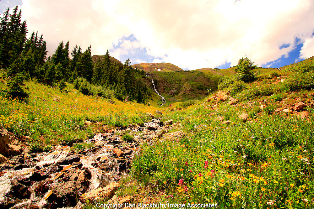 Wildflowers Blooming Beside Stream in Porphyry Basin With Waterfall in Background San Juan Mountains Colorado