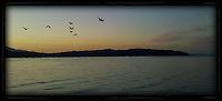 A small flock of Canada Geese fly over the Hood Canal of Puget Sound with evening alpenglow in the sky, Puget Sound, Washington state, USA