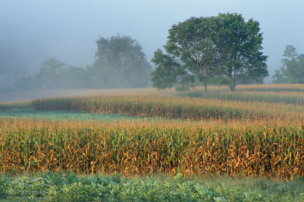 Sharon, CT Milkweed, corn, and maple trees in a field in the Litchfield Hills of western Connecticut. Fog.