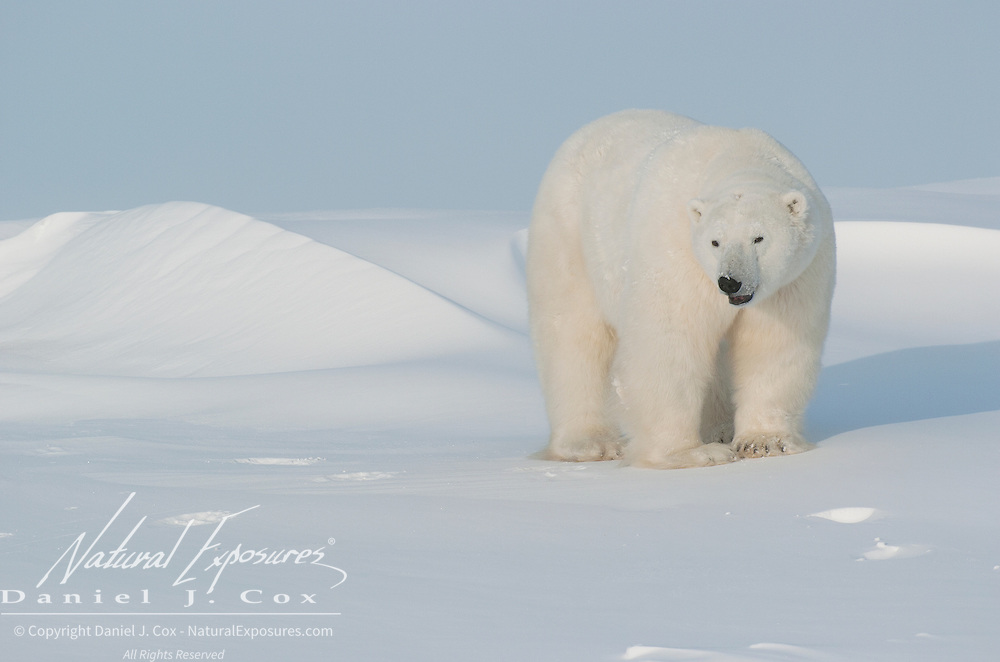 Polar Bear (Ursus maritimus) at Cape Churchill, Manitoba, Canada.