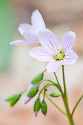 Spring Beauty, Claytonia virginica, Dowagiac Woods, Cass County, Michigan