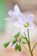 Spring Beauty, Claytonia virginica, Dowagiac Woods, Cass County, Michigan