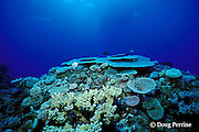 hard corals on top of coral bommy, Flinders Reef, Coral Sea, Queensland, Australia ( Western Pacific Ocean )