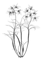 X-ray image of a Dendrobium orchid cluster (Dendrobium 'Stephen Batchelor', black on white) by Jim Wehtje, specialist in x-ray art and design images.