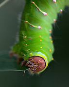 A macro shot of a large Polyphemus Moth Caterpillar (Antheraea polyphemus) eating a leaf