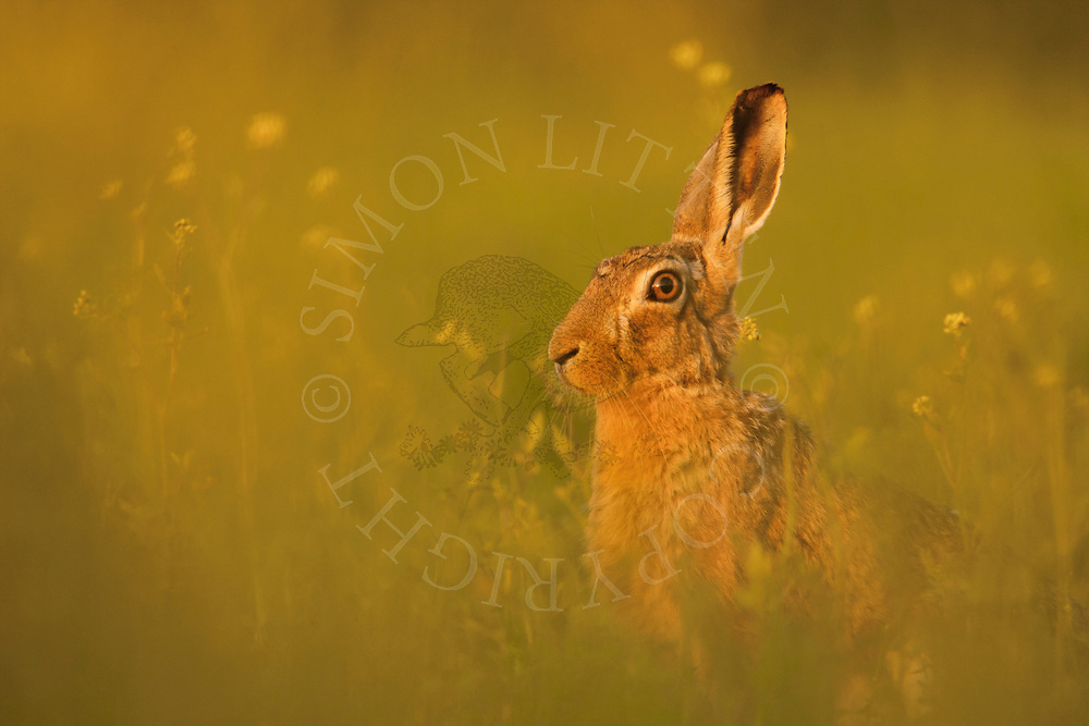 European Hare (Lepus europaeus) adult, alert in white mustard crop, Norfolk, UK.