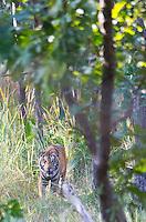 Royal Bengal Tiger (Panthera tigris tigris) in sal forest in Bardia National Park, Nepal