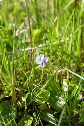 Moerasviooltje, Viola palustris