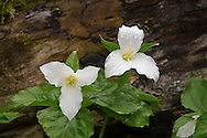 A pair of trilliums covered with raindrops at the Dells of the Eau Claire River County Park in Marathon County Wisconsin.