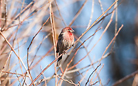 Portrait of a Male House Finch as it sits on a branch.