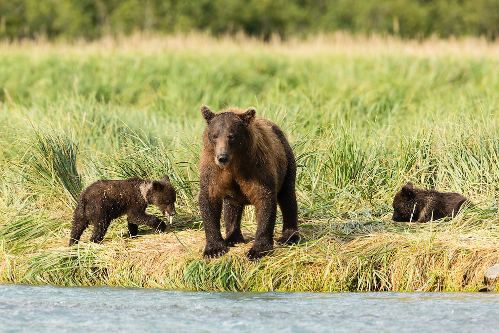 Sow brown bear (Ursus arctos) looks for spawning salmon in Geographic Creek as her cubs feed on scraps at Geographic Harbor in Katmai National Park in Southwestern Alaska. Summer. Afternoon.
