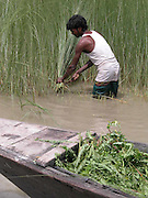 THIS UNIDENTIFIED MUSLIM VILLAGE MAN IS CUTTING THE CROPS, WHICH WERE SINK UNDER WATER, OF MAJHERCHAR VILLAGE SOME 328 KILOMETERS OF  GUWAHATI, THE CAPITAL OF NORTHEASTERN INDIAN STATE OF ASSAM, 4TH JULY, 2003. RIVERS SWOLLEN BY INCESSANT   MONSOON RAINS OVERFLOWING WATERS BREAK THE DAMS, DYKES AND BANKS, POURING WATER INTO THE HOMES OF ABOUT 800,000 PEOPLE AND SEVERING TRANSPORTATION LINKS IN NORTHEASTERN INDIA, WHILE MORE THAN THOUSANDS VILLAGES SPREAD OVER 10 DISTRICTS AND MORE THAN 25 LAKHS HETARES CROPS FIELD IN THE STATE HAVE BEEN WORSTLY AFFECTED BY THE FLOODS AND THE WATER-BORNE DISEASES LIKE GASTROENTERITIS, DYSENTERY, JAUNDICE AND TYPHOID HIT THE FLOOD-AFFECTED AREAS, WHICH TOOK THE SEVERAL LIVES, OFFICIALS OF  THE FLOOD CONTROL, GOVERNMENT OF ASSAM (INDIA) DEPARTMENT DISCLOSED. (PIC - SHIB SHANKAR CHATTERJEE/AP)