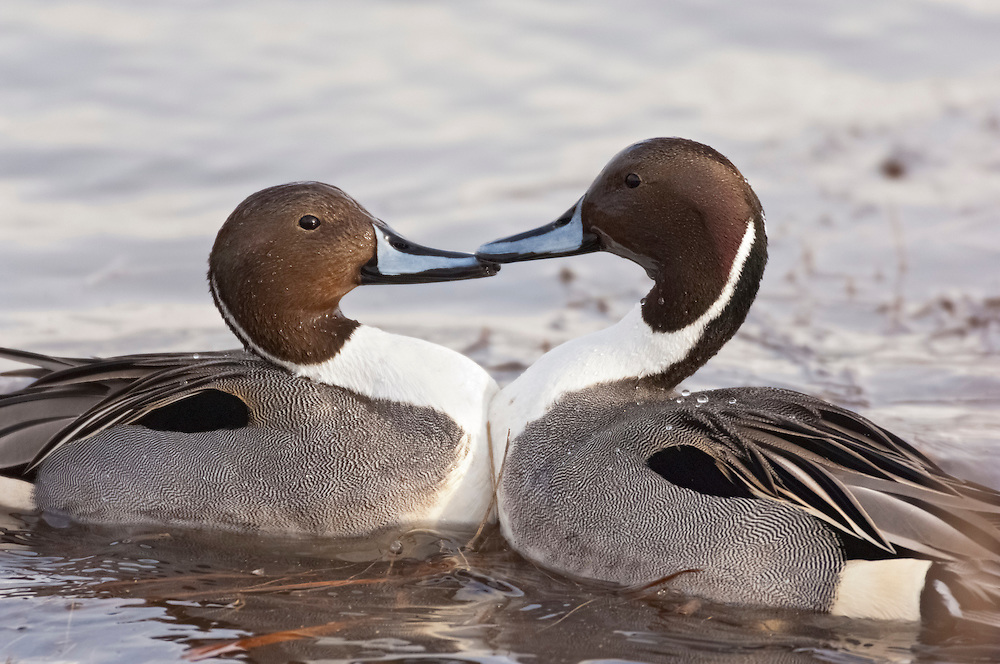 Northern Pintail, Anas acuta, males fighting, Bosque del Apache NWR, New Mexico