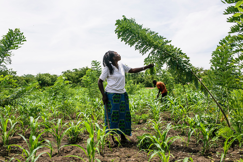 Farmers Sarah Phiri, left, and husband Harrison Mbao, on their 1 hec-acre of farmland in Zambia. As they have partnered with COMACO, they now farm organically, and plant gliricidia sepium trees which promotes nitrogen in the soil. The leaves also make great compost. They also have a system of using minimum tillage, instead digging basins around the plants to retain more moisture. Sarah and Harrison are growing cotton, maize, and ground nuts and they have had such good harvests, they don't go through an annual hunger period because they have enough crops to last the year. COMACO has a partnership like this with 108,000 farmers in the Eastern Province of Zambia.