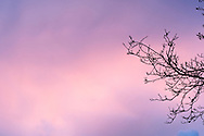 A Walnut tree's branches are silhouetted against a purple sky at sunset