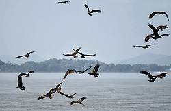 October 4, 2018 - Guwahati, India - Flying Kites over Brahmaputra River in Guwahati, Assam, India on Thursday, October 4, 2018. (Credit Image: © David Talukdar/NurPhoto/ZUMA Press)