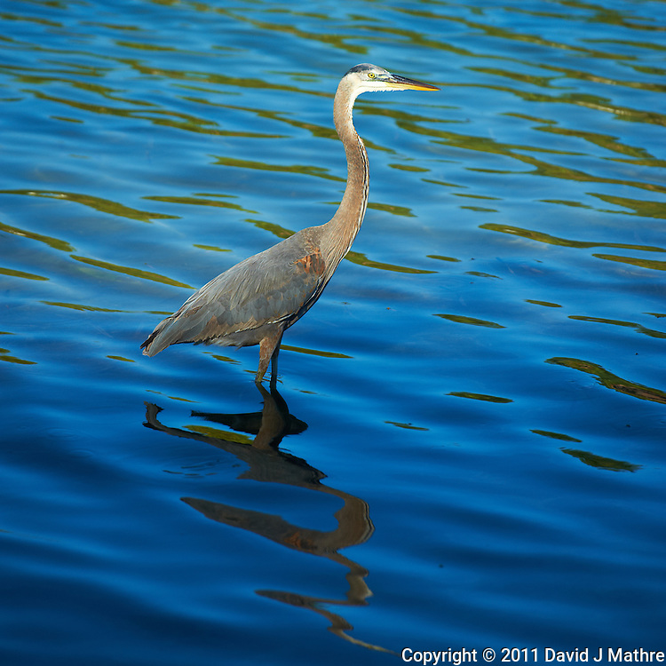 Great Blue Heron Fishing in Early Morning Sunlight at Fort Desoto Park in St. Petersburg, Florida. Image taken with a Nikon D3 and 70-200 mm f/2.8 VR II lens (ISO 200, 200 mm, f/4, 1/2500 sec).