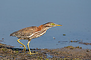 Juvenile Green Heron at San Elijo Lagoon in San Diego