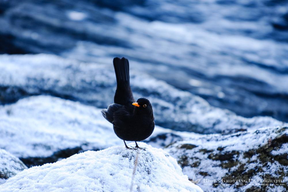 Norway, Stavanger. Blackbird.