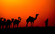 A nomadic herder moves his camels through the desert during sunset in Pushkar, India