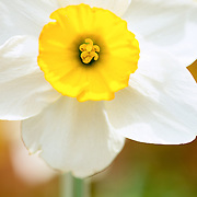 Close-up macro shot of a yellow and white daffodil blooming in the sprintime.