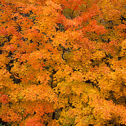 Greenville, Me..Sugar Maple, acer saccharum, in a blaze of orange during fall in Maine's north woods.