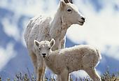 Wildlife: Dall Sheep, Ewes and Lambs