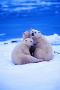 Image of three polar bears (Ursus maritimus) playing in a snow field near Churchill in Manitoba, Canada