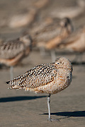 Long-Billed Curlew at a beach in Morro Bay, California