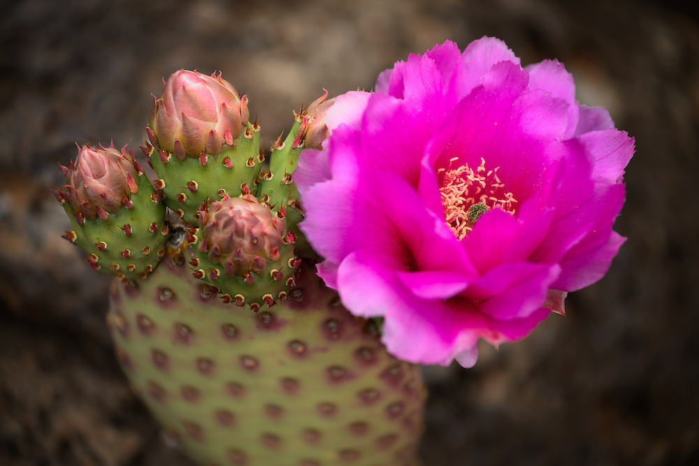 A prickly pear cactus flowers in spring. Zion National Park in Utah.