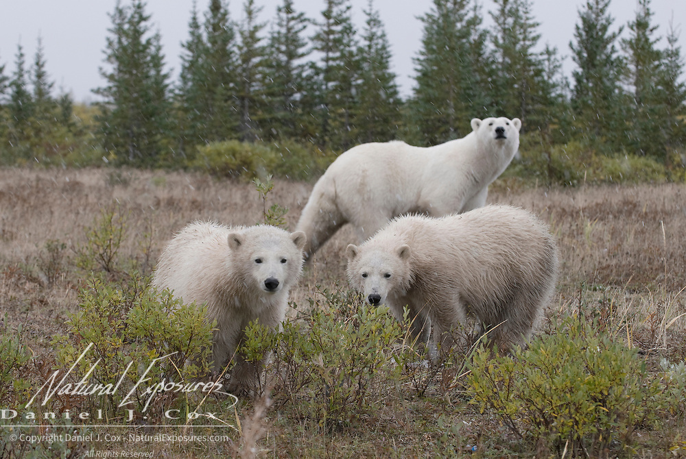 Polar Bear (Ursus maritimus) mother and cubs. Hudson Bay, Manitoba, Canada