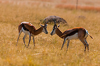 Springboks sparring, Lion Park, near Johannesburg, South Africa.