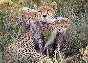A cheetah mom and young cubs rest as the day warms up near the Ndutu Lodge in the Serengeti plains, Tanzania.  When we came across this mother she was nursing her young cubs.  After a bit the family journeyed on sometimes through grasses that were taller than the cubs.  Before the cubs got too hot or tired, they settled in the shade of another tree.  The mom was constantly on alert looking around for other predators.  As the day warmed up we moved on and left them in the shade.  We were in the area for several more days, but did not see this group again. A couple of days later our guide told us that another group had found the mom, but at this point she only had one cub left.  The mortality rate for cheetah cubs is high with some reports indicating that only 5-10% survives to adulthood.