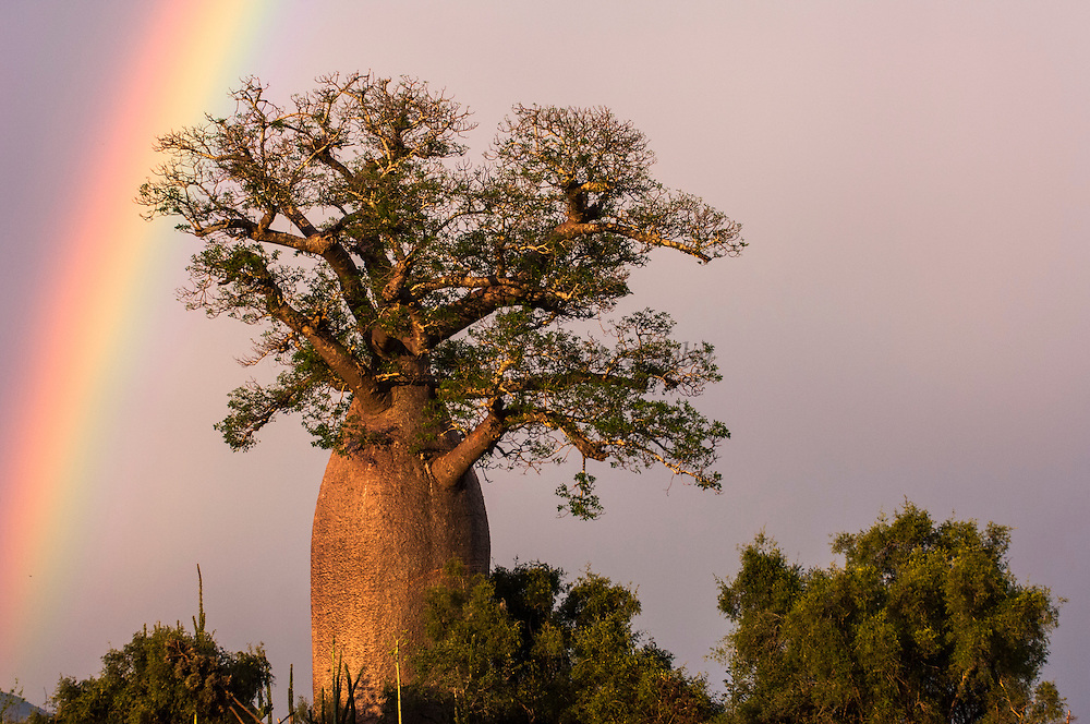 Baobab (Adansonia za) and rainbow.  Berenty Reserve, Southern MADAGASCAR<br /> Flowers between November and June<br /> HABITAT & DISTRIBUTION: West of Fort Dauphin up to Analalava. Prefers calcareous soils and is the only species in the spiny forest on limestone of the Mahafaly Plateau in the deep south.<br /> ENDEMIC TO MADAGASCAR<br /> There are eight baobab species in the world. 6 are endemic to Madagascar, one from Africa and one from Australia. Baobabs probably evolved in Madagascar after Gondwanaland split and the Africa and Australian species must have arisen from colonising fruits floating across the Indian Ocean. In Madagascar the 6 species have evolved to fit their own niche within the dry forest zones. The 7th (African) species was introduced by Arab traders and is planted in some of the town in the north west.They are dryland plants and are 'drought survivors' and are able to store water from a sporadic downpour very efficiently within the soft, porous  wood of their big, fat trunks. They are quite fire resistant.