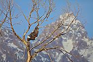 Bald Eagle taking flight cottonwood tree below the Grand Tetons in Grand Teton National Park