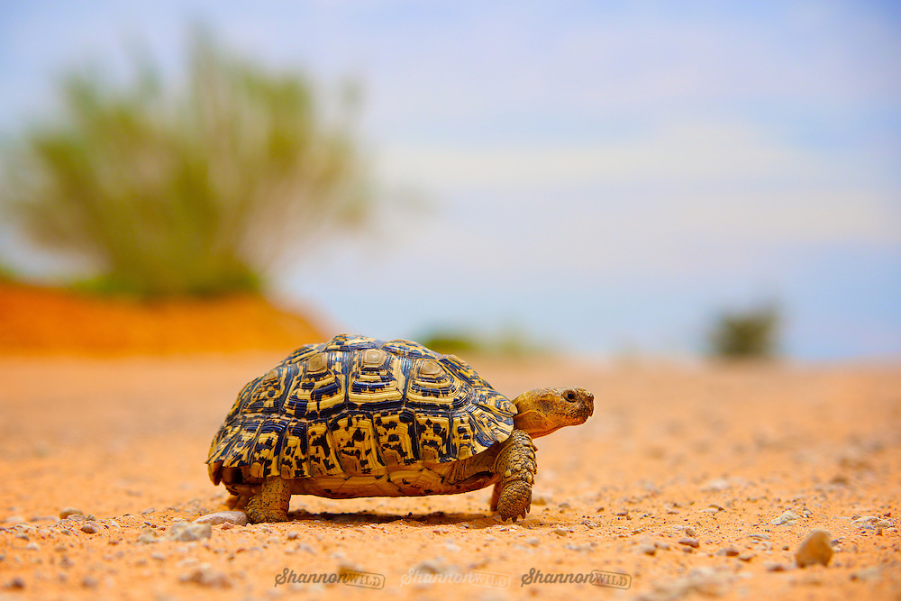 A Leopard Tortoise (Geochelone pardalis) crosses a dirt road in the Kgalagadi Transfrontier Park, South Africa.